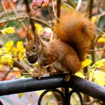 ginger-squirrel-16484